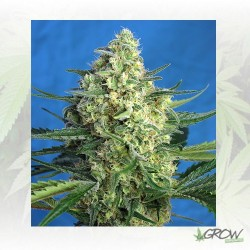 Jack 47 XL Auto® Sweet Seeds - 3 Seeds