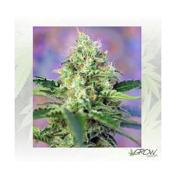 Crystal Candy® Sweet Seeds - 3 Seeds
