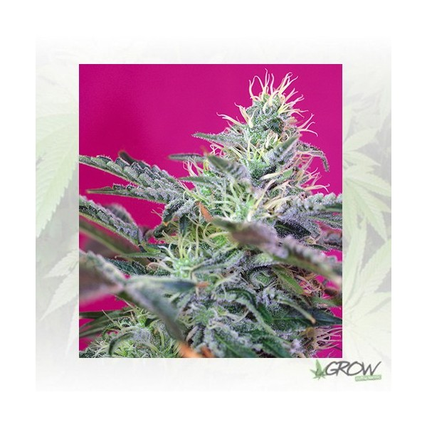 Sweet Cheese Auto® Sweet Seeds - 25 Seeds