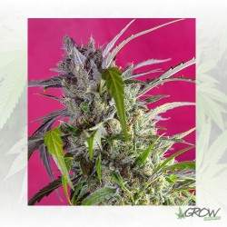 Crystal Candy Auto® Sweet Seeds - 3 Seeds