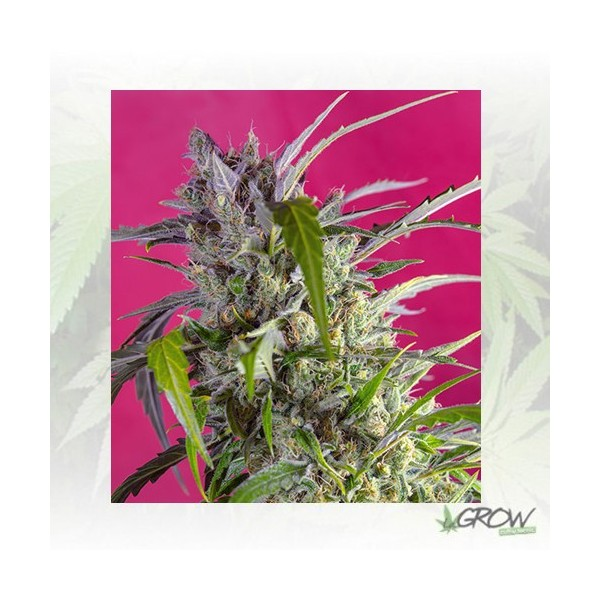 Crystal Candy Auto® Sweet Seeds - 5 Seeds