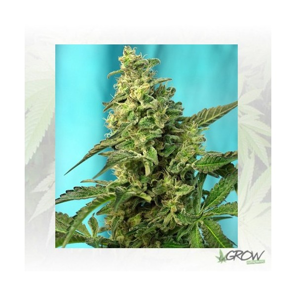 Green Poison F1 Fast Version® Sweet Seeds - 25 Uds