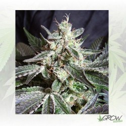 Black Jack® Sweet Seeds - 5 Seeds