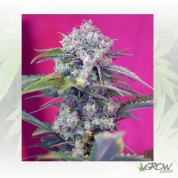 Cream Mandarine Auto® Sweet Seeds - 5 Seeds