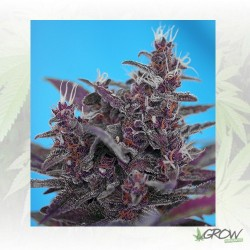 Black Cream Auto® Sweet Seeds - 5 Seeds