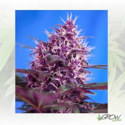 Red Poison Auto® Sweet Seeds - 5 Seeds