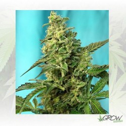 Green Poison F1 Fast Version® Sweet Seeds - 5 Uds
