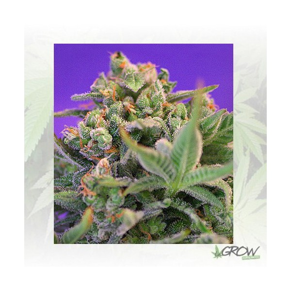 Sweet Cheese F1 Fast Version® Sweet Seeds - 3 Seed