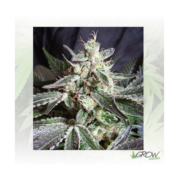 Black Jack F1 FV® Sweet Seeds - 3 Seeds