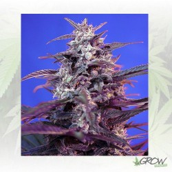 Bloody Skunk Auto® Sweet Seeds - 5 Seeds