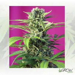 Chem Beyond Diesel® CBD Sweet Seeds - 5 Seeds