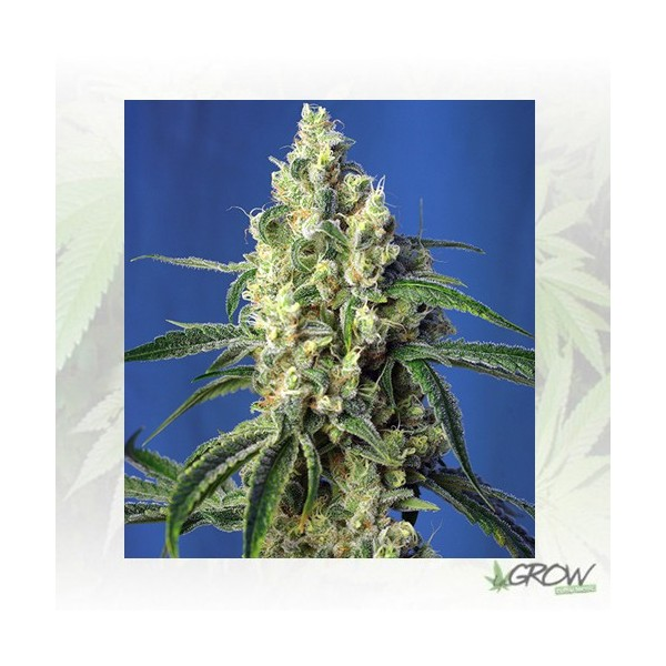 Green Poison CBD® Sweet Seeds - 3 Seeds