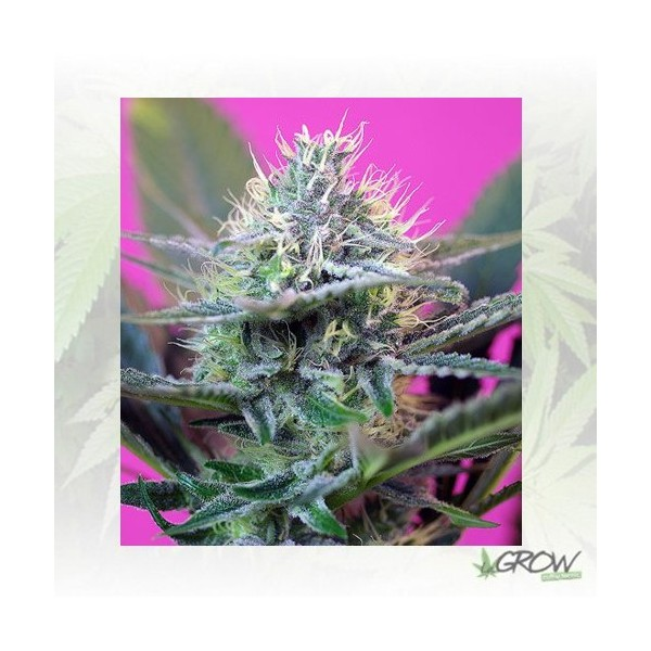 +Speed Auto Sweet Seeds - 25 Seeds