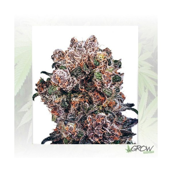 Blueberry® Dutch Passion - 5 Seeds