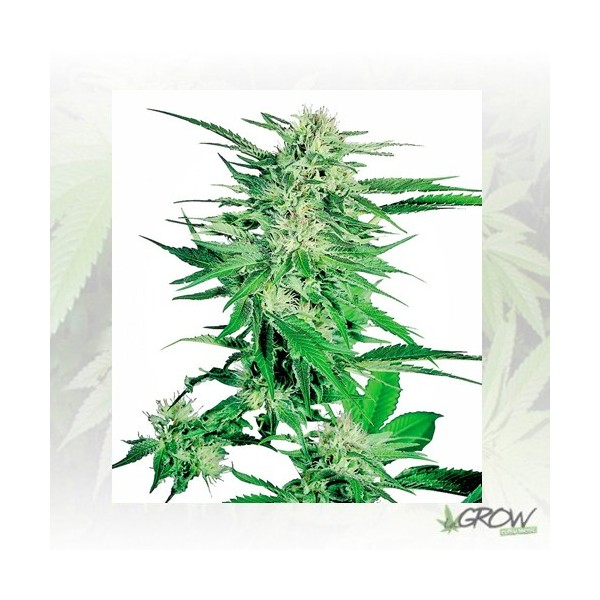 Big Bud® Sensi Seeds - 10 Seeds