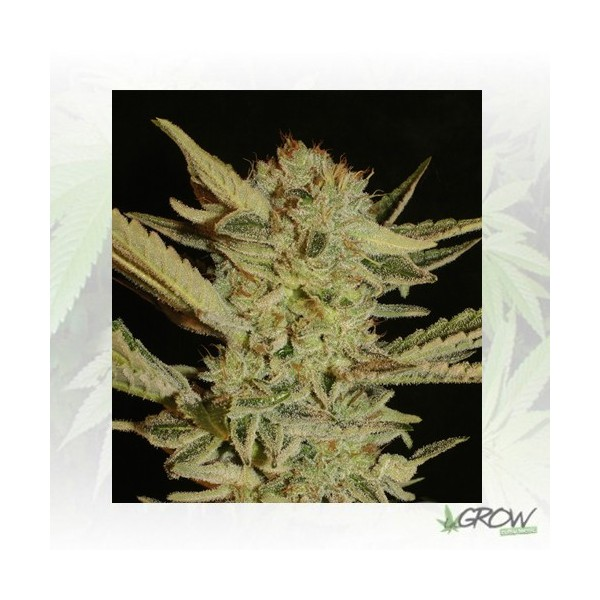 Bubble Gum Serious Seeds - 11 Seeds