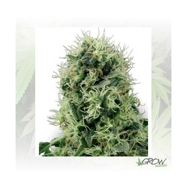 Pure Power Plant White Label - 10 Seeds