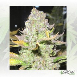 Devil Fruit Medical Seeds - 10 Seeds