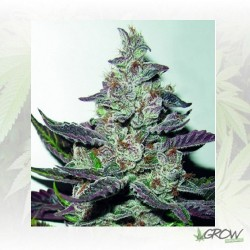 Mendocino Purple Kush Medical Seeds - 5 Seeds