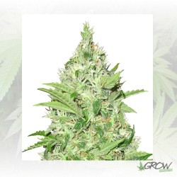 Y Griega CBD Medical Seeds - 3 Seeds