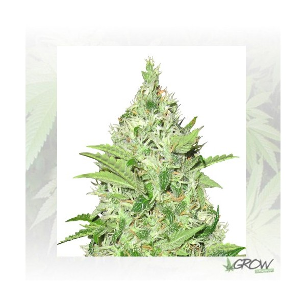 Y Griega CBD Medical Seeds - 10 Seeds