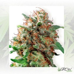 Kali Dog Royal Queen Seeds - 1 Seed