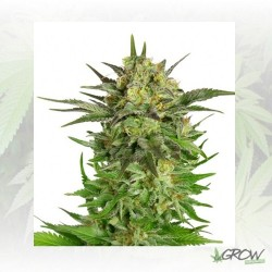 Haze Berry Royal Queen Seeds - 1 Seed