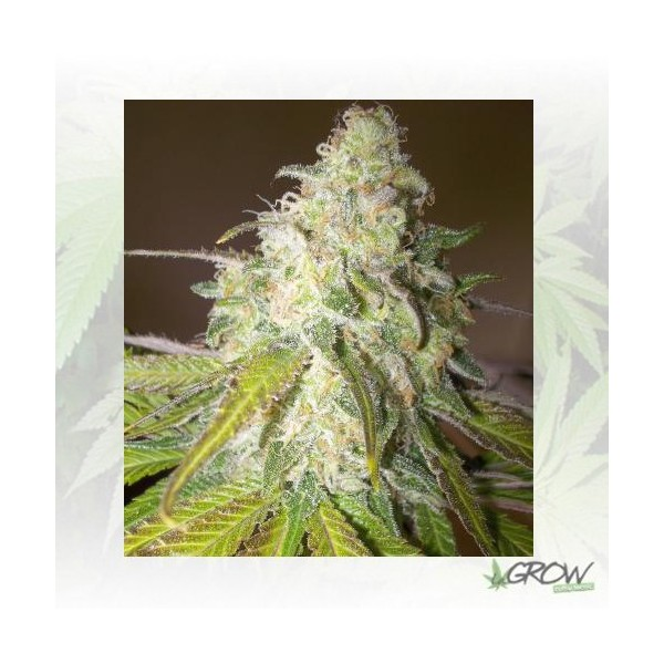 Sour Diesel Royal Queen Seeds - 1 Seed