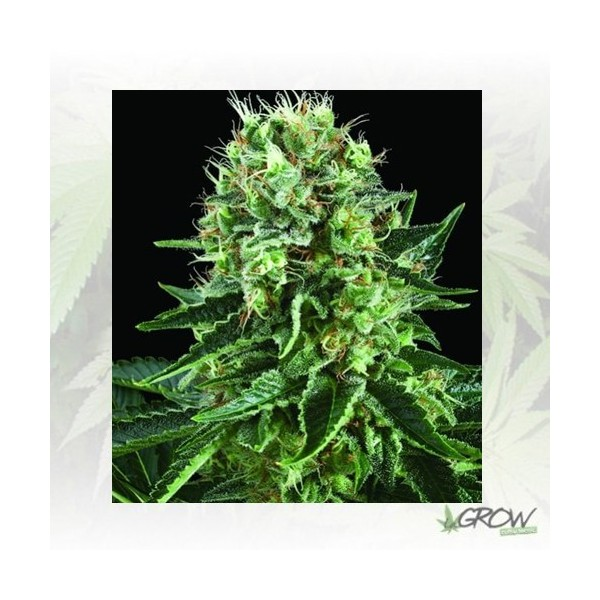 Bubble Kush Royal Queen Seeds - 3 Seeds