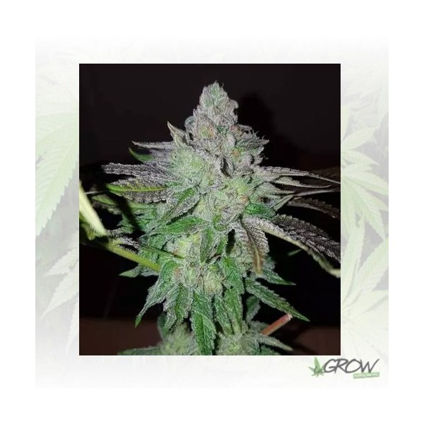 Pineapple Kush Royal Queen Seeds - 1 Seed