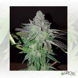 Pineapple Kush Royal Queen Seeds - 3 Seeds