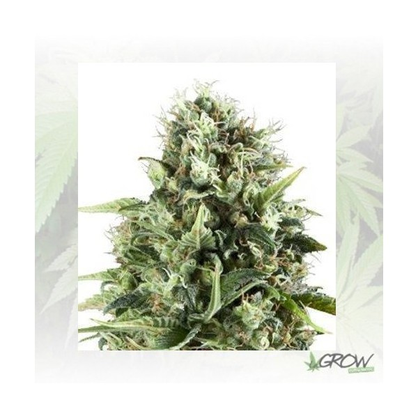 Royal AK Royal Queen Seeds - 1 Seed
