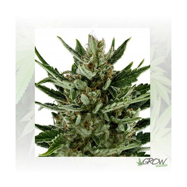Speedy Chile FF Royal Queen Seeds - 5 Seeds