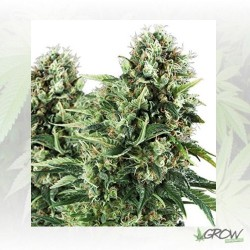 Honey Cream FV Royal Queen Seeds - 10 Seeds