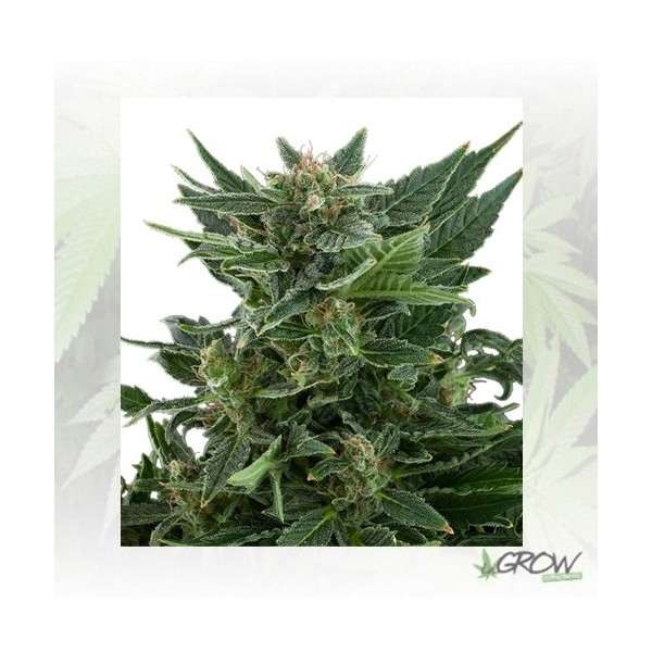 Royal Kush Auto Royal Queen Seeds - 1 Seed