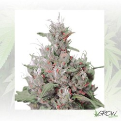 Royal Creamatic Auto Royal Queen Seeds - 1 Seed