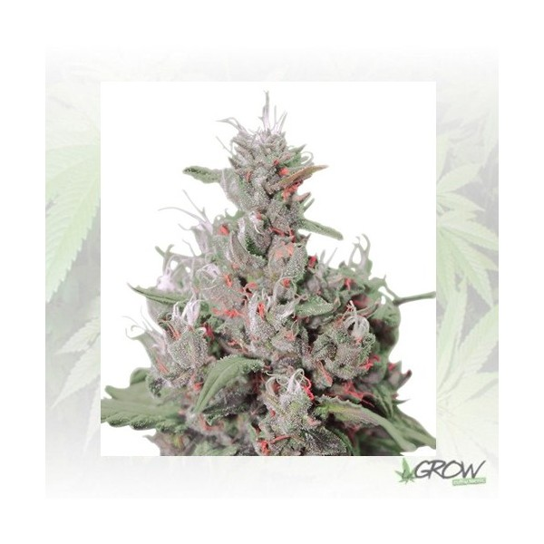 Royal Creamatic Auto Royal Queen Seeds - 5 Seeds