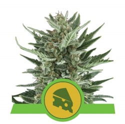 Royal Cheese Auto Royal Queen Seeds - 1 Seed