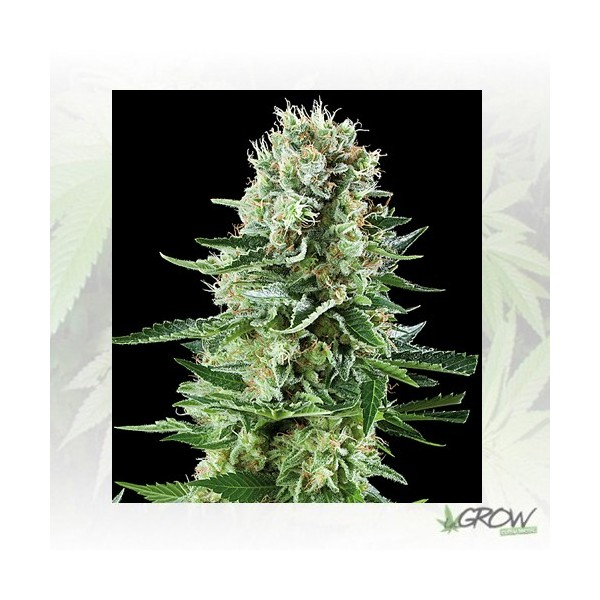 White Widow Auto Royal Queen Seeds - 3 Seeds