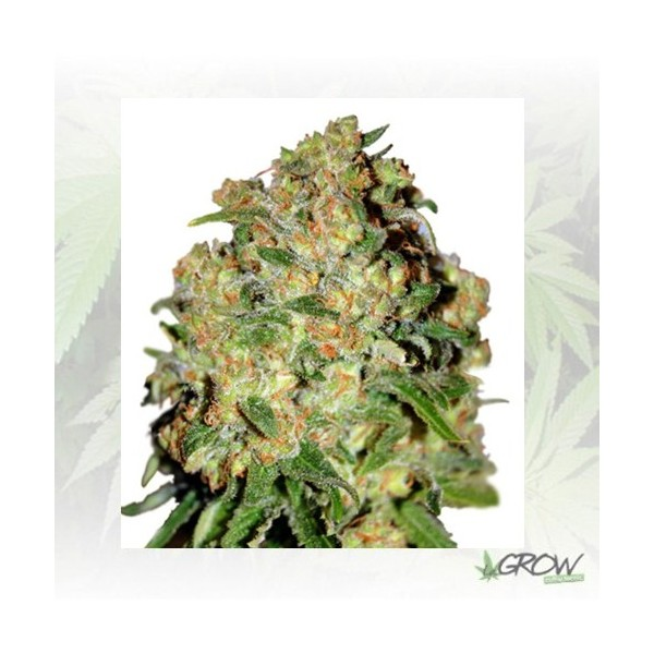Sweet Skunk Auto Royal Queen Seeds - 1 Seed