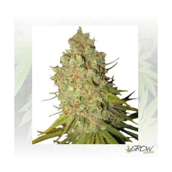 Bubble Kush Auto Royal Queen Seeds - 5 Seeds