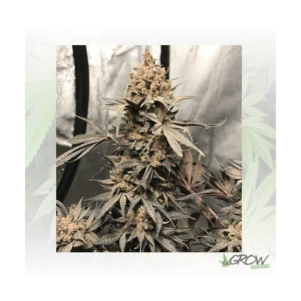 Royal Highness Royal Queen Seeds - 3 Seeds