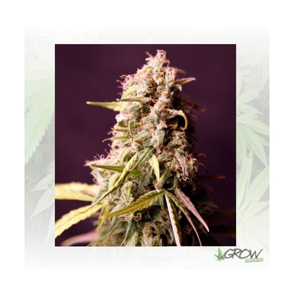 Royal Medic Royal Queen Seeds - 3 Seeds