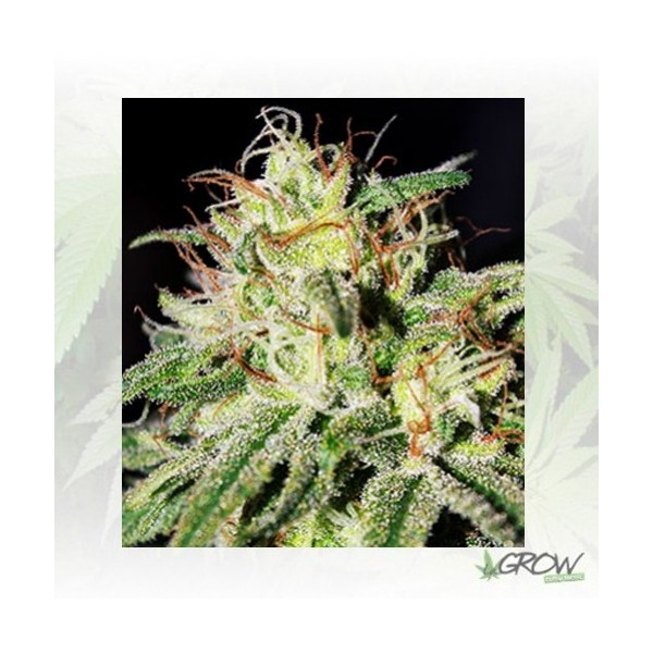 Medical Mass Royal Queen Seeds - 1 Seed