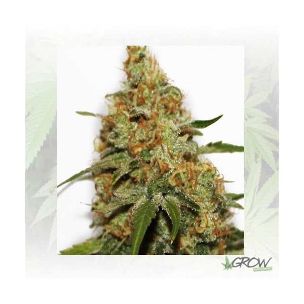 Painkiller XL Royal Queen Seeds - 5 Seeds