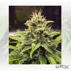 Blue Cheese Royal Queen Seeds - 10 Seeds