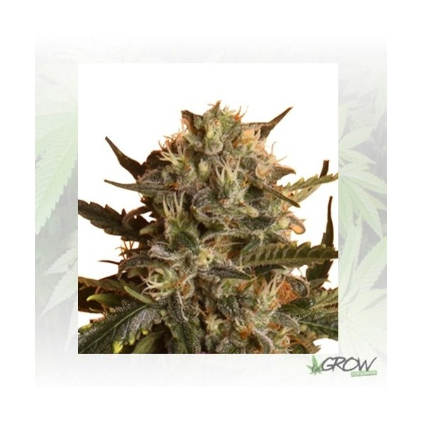 Royal Madre Royal Queen Seeds - 1 Seed