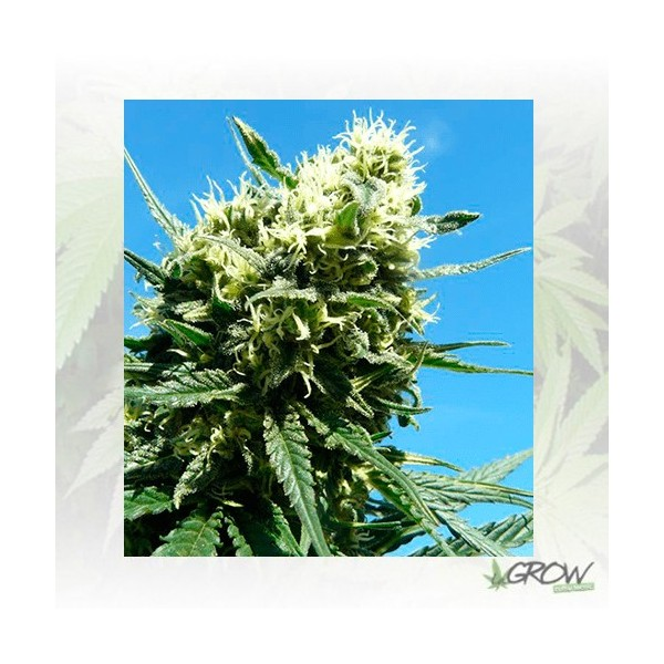 Fast Eddy Auto CBD Royal Queen Seeds - 1 Seed