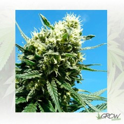 Fast Eddy Auto CBD Royal Queen Seeds - 5 Seeds