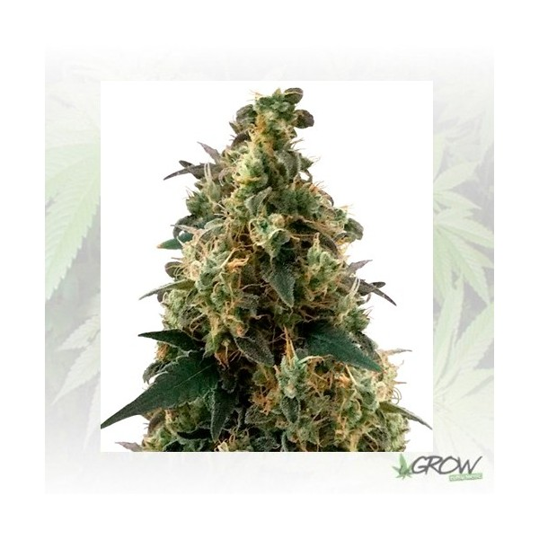 Royal Domina Royal Queen Seeds - 5 Seeds
